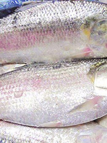 Padma Ilish – Fresh Hilsa Fish – Fresh Ilish (1kg)
