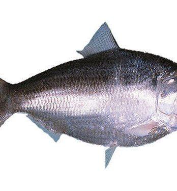 Hilsa Fish Per Kg
